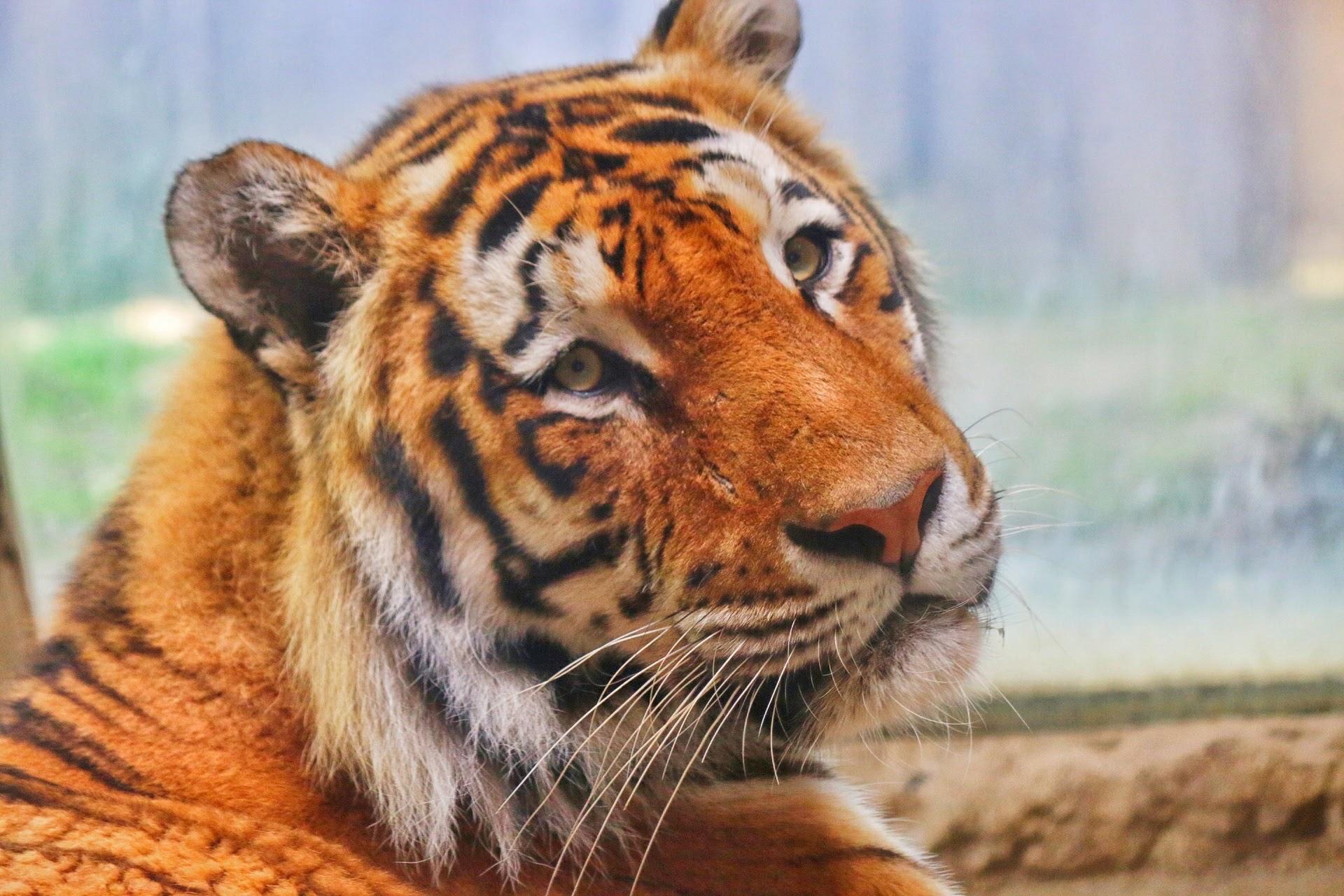 Zoom Erlebniswelt Zoo Gelsenkirchen Tiger
