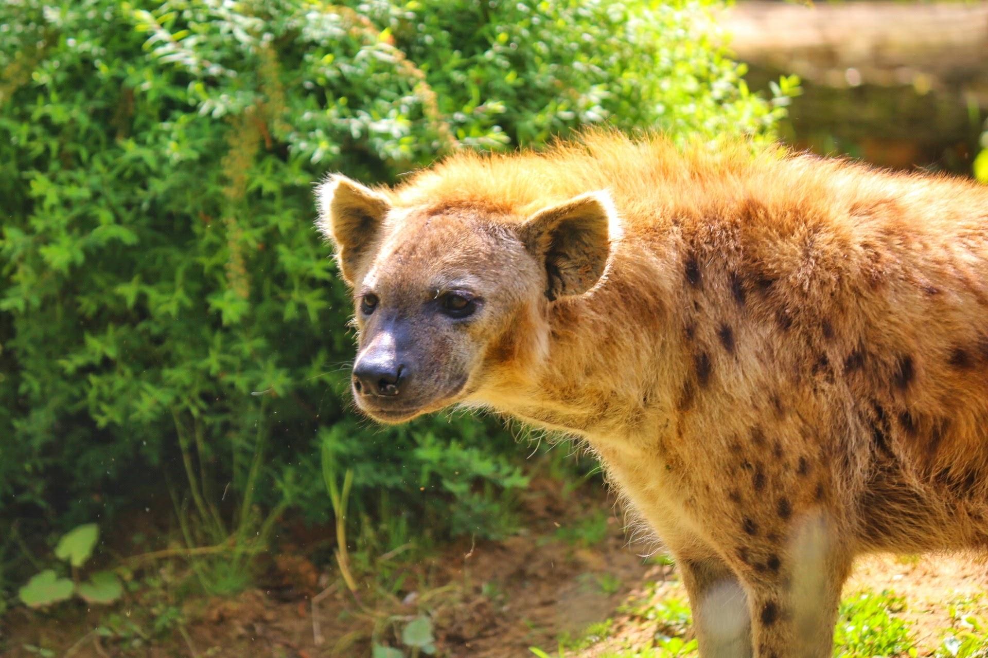 Zoom Erlebniswelt Zoo Gelsenkirchen Hyäne Hyähne